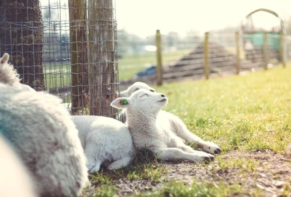 schapen_knuffelen